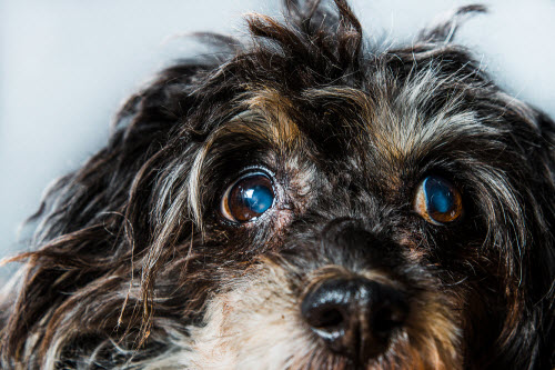 close-up of a dog's eyes with cataracts