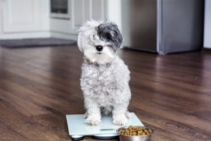 cute poodle dog on weigh scales