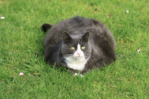 Obese cat spread out on the grass in the garden