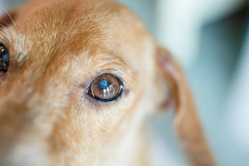 Close up small white spot on the dog's eyes