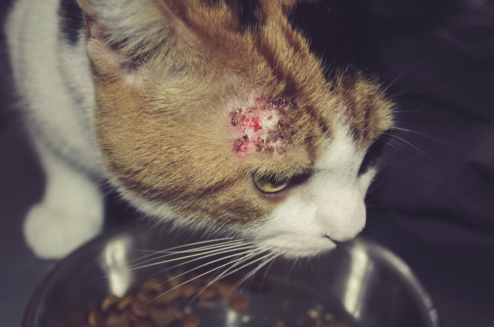 Cat with serious skin condition