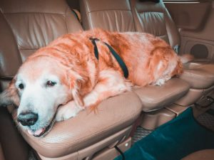 Golden retriever dog lying across back seat of the car