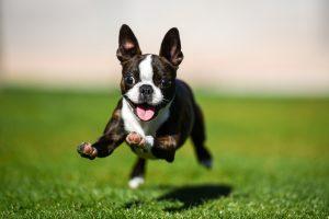 Boston terrier puppy running through the yard.