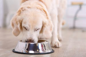 lose up of beautiful dog eating from the bowl